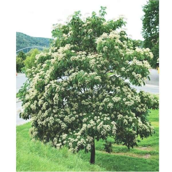 Evodia Tetradium Danielii110cm albero del miele
